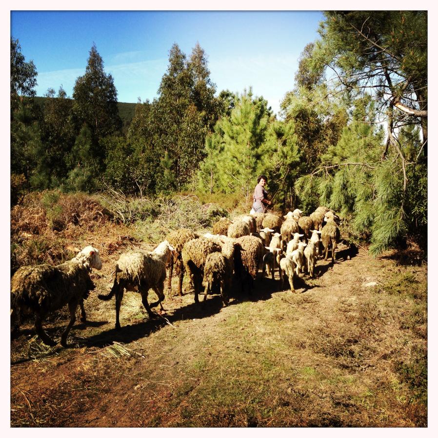 Guardar_ovelhas1