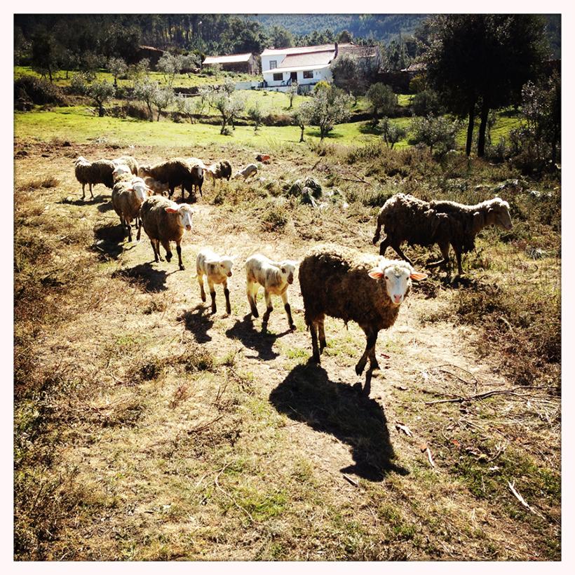 Guardar_ovelhas3