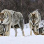 Como os Lobos mudam os rios