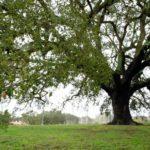 Árvore Europeia de 2018 – sobreiro assobiador português